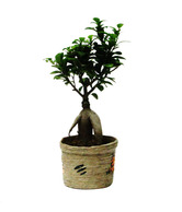 Nurturing Green Ficus Grafted 2 Year Old Potted Plant